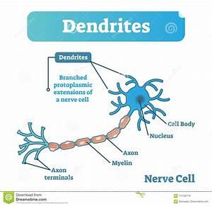 Dendrite Biological Anatomy Vector Illustration Diagram
