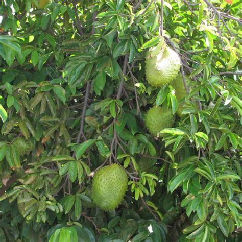 Soursop (annona Muricata)  My Garden Life