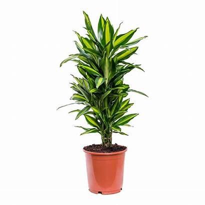 Dracaena Cintho Fragrans Branched Plants Hortology Plant