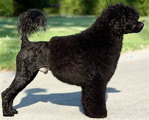 Portuguese Water Dog (PWD) - Breed Information and Images ...