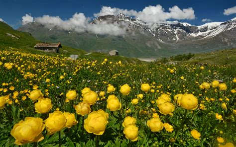 wallpapers alps france nature mountains flowers ranunculus