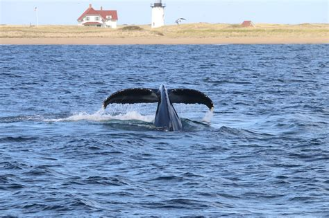 Cape Cod Whale Watching  Let The Good Times Splash! The