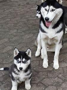 Husky Zu Verkaufen : sibirischer husky welpen in polch hunde kaufen und verkaufen ber private kleinanzeigen ~ Orissabook.com Haus und Dekorationen