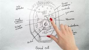 How To Draw Animal Cell Step By Step Tutorial For
