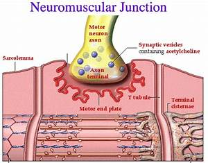Neuromuscular Junction Structure And Functions