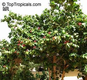 Hibiscus elatus, Mahoe, Majagua - TopTropicals com