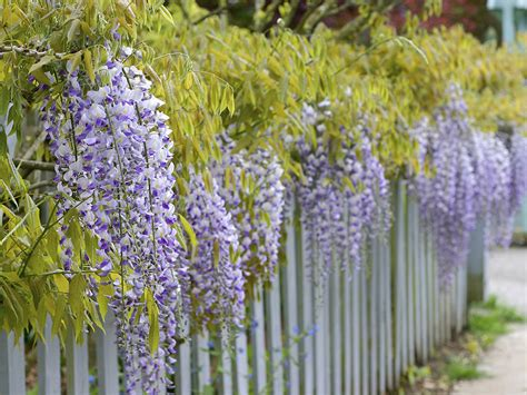 plants that grow up fences top 10 beautiful climbing plants for fences and walls