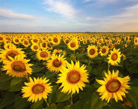 Фотообої Поле соняшників купити на стіну • Еко Шпалери