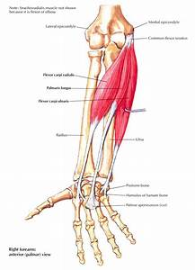 Extensor And Flexor Reflex  Flexors Of The Forearm Muscles