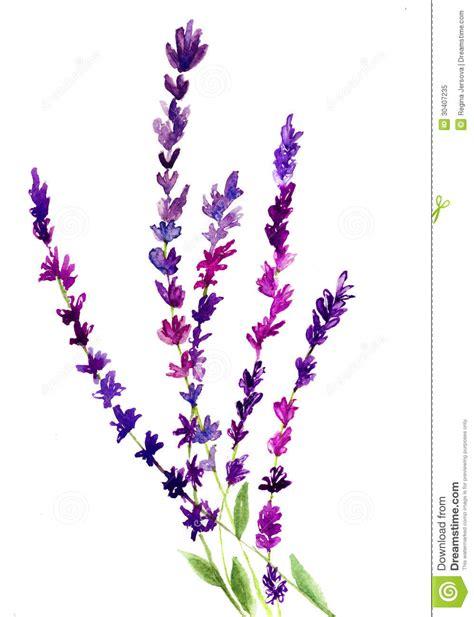 lavender flower royalty  stock photo image