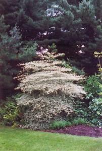 variegated pagoda dogwood cornus alternifolia 39 argentea