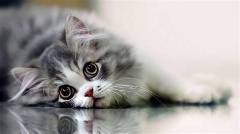 Beautiful Cute Cat Wallpaper Hd For Desktop Pixcorners
