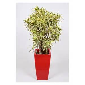 display home interiors dracaena reflexa song of india buy or rent this plant