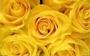 Yellow Roses 4 Desktop Wallpaper - HdFlowerWallpaper.com