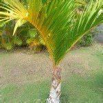 Care Of Kentia Palm Tree Indoors