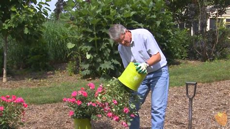 how to plant knockout roses by brighter blooms nursery