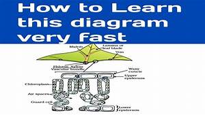 Easy Learning Of Cross Section Of Leaf Diagram