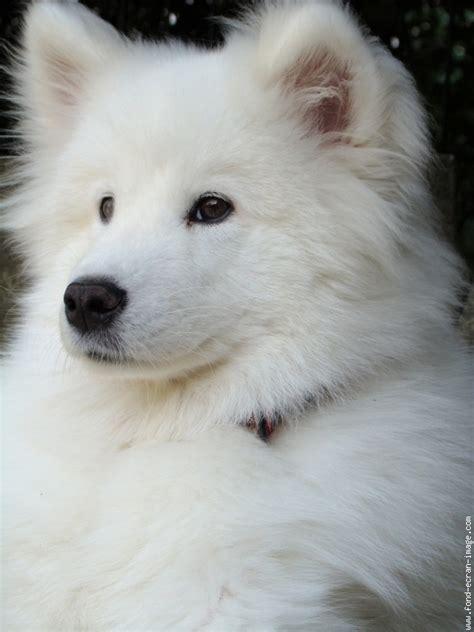 baiko blanc chien samoyede animal photo fond ecran image