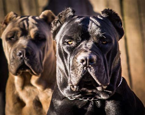 cane corso puppies  sale orange county ca