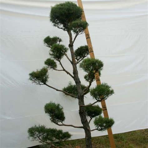 » Scotch Pine Topiary Tree #60   Plants Beautiful Nursery