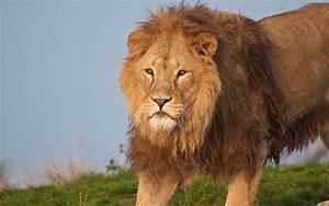 Image Gallery jungle animals lion