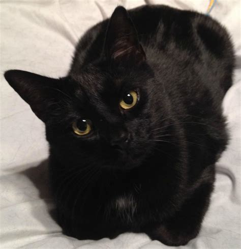 black cats the most beautiful black cats pouted online magazine latest design trends creative