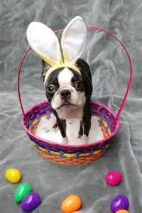 Boston Terrier Easter Bunny