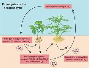 Prokaryotes  Bacteria  U0026 Archaea