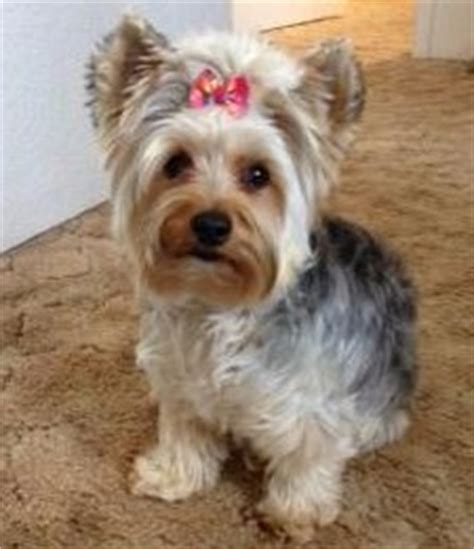 details  yorkie coloring yorkshire terrier information