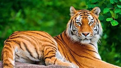 Animal Tiger Animals Wild Tigers Pixelstalk Nature