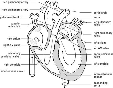 Blank Heart Diagram  Anatomy Organ