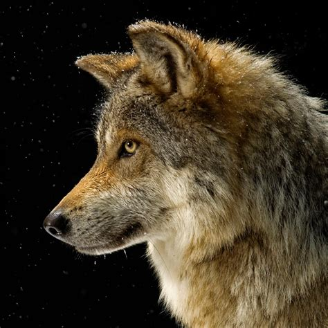 wolf national geographic