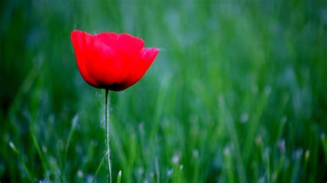 nature flowers grass red poppies wallpaper allwallpaper