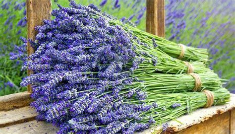 wie lavendel schneiden lavendel schneiden wie klappt zur 252 ckschneiden am besten