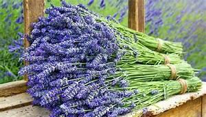Lavendel Wann Schneiden : lavendel schneiden wie klappt zur ckschneiden am besten ~ Lizthompson.info Haus und Dekorationen
