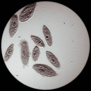 Paramecium Reproduction - Biology Wise