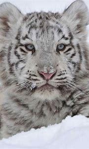White Tiger   Felinos