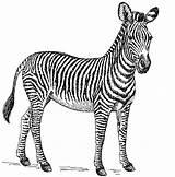 Zebra Coloring Tiere Animal Zeichnungen Kunstbilder Malvorlagen Upcycling Afrika Drucken Farben Manualidades Test Ausmalbilder Mar sketch template
