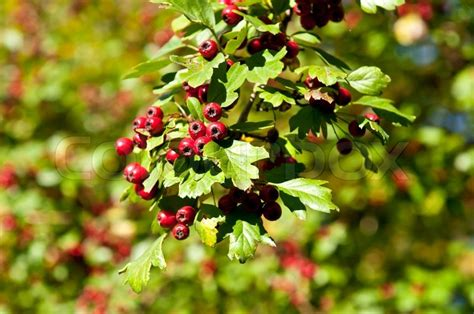 green bush with berries red berries on the tree green bush with clusters of red berries stock photo colourbox