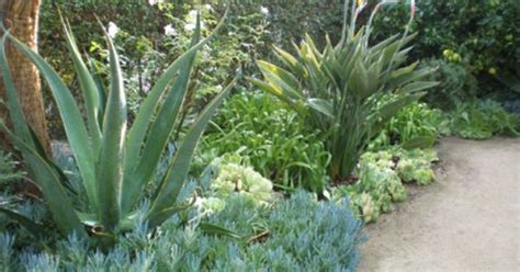 octopus plant care easy care border agave vilmoreniana octopus agave senecio mandraliscae blue chalk plant