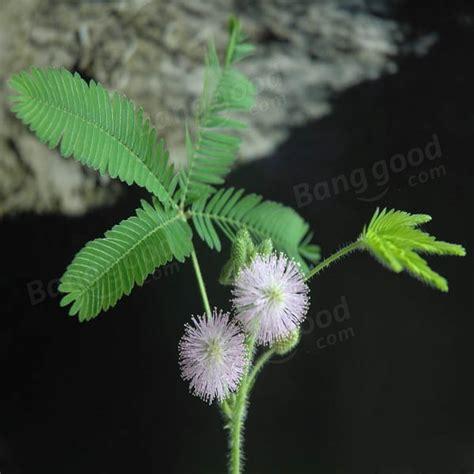 entretien mimosa pudica entretien pieris japonica flaming silver with entretien mimosa