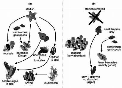 Keystone Starfish Role Pisaster Ochraceus Ecosystem Species