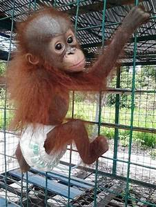 Baby Orangutan Who Lost Everything Finds A New Best Friend ...
