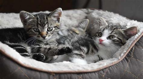 มารู้จักกับ 4 สายพันธุ์แมวที่คนไทยนิยมเลี้ยงกัน!! ⋆ DooDiDo