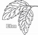 Elm Tree Coloring Template Templates sketch template