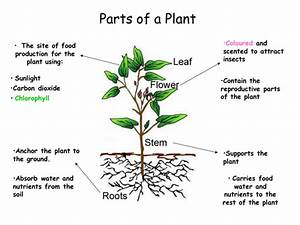 Parts Of A Plant By Missfry40 - Teaching Resources