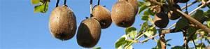 Tailler Les Kiwis : comment tailler les kiwis gamm vert ~ Farleysfitness.com Idées de Décoration