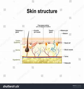 Human Skin Hair Structure Cross Section Stock Vector