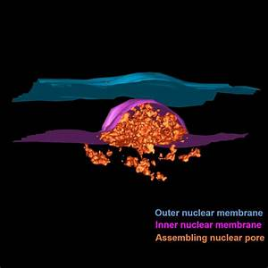 Watching nuclear pores in growing nuclei