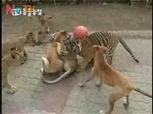 Dog vs Lion, dog beats up lion. - YouTube